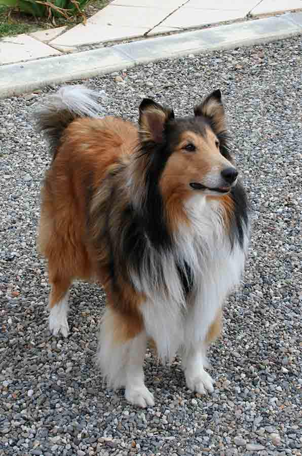 Evy, schotse collie